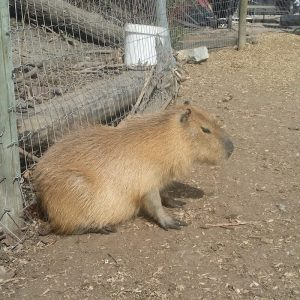 150-pound-rat-capybara
