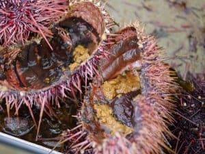 eating sea urchin at home