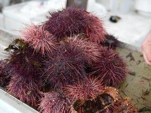 fresh sea urchin steveston fishermens wharf